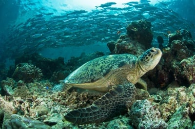 Огромна заплаха за морските костенурки. Причина - глобалното затопляне