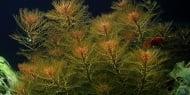Myriophyllum tuberculatum Мирофилум червен