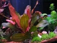 Echinodorus 'Rosé' potted