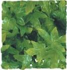 Терариумно растение Zoo-Med - конгуански бръшлян