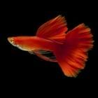 Гупа full red  - 3-4см