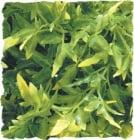 Терариумно растение Zoo-Med - боливийски кротон