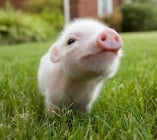 Анемия при новородените прасета