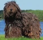 Бергамско пастирско куче