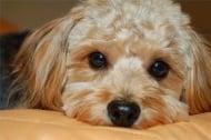 Бруцелоза при кучето