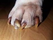 Чупливи нокти при кучетата. Причини и полезни съвети.
