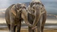 Чувстват ли мъка слоновете?