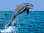 Сетива при делфините