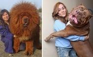 Добросърдечни кучета, които не осъзнават колко са огромни (1 част)