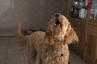 6 начина да накараме кучето да спре да лае в апартамента