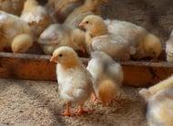 Енцефаломалация при пилетата