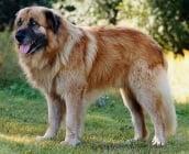 Ещрелско планинско куче