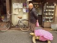 Най - търпеливия стопанин в света разхожда своята гигантска костенурка по улиците на Токио