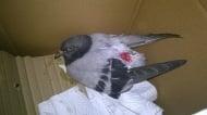 Гълъбче с откъсната опашка, изложено на сигурна смърт, е спасено!