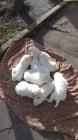 Бяла немска овчарка