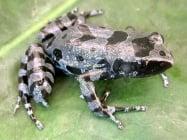 Изчезнал вид жаба e преоткрита в Африка
