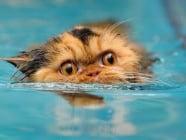 Как да научим котката да плува?