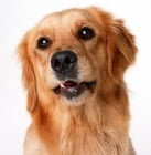 Какво да очаквате от кучето на възраст от 5 до 6 години?