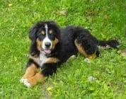 Какво да очаквате от кученцата на възраст от 4 до 6 месеца?