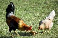 Канибализъм при птиците