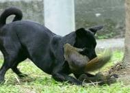 Катеричка нападна куче, за да спаси малкото си