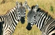 Кое е общото между окраската на зебрата и човешката длан?