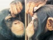 Кои животни се разпознават в огледалото?