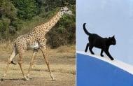 Кои са животните с уникална походка?