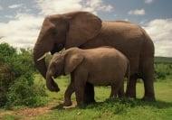 Колко години живее слона ?