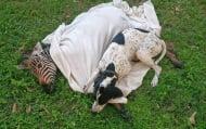 Куче излекува малка зебра, ближейки раните й