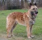 Лакеноа - белгийска овчарка