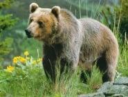Ловът на мечки в България ще бъде тотално забранен