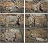 Невиждано - лъвица отказва да изяде кошута, когато разбира, че е бременна