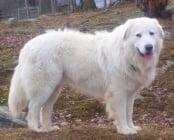 Маремано-абруцко пастирско куче