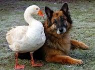Нежността на една гъска превръща агресивна немска овчарка в игриво куче