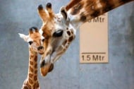 От колко високо пада бебето жираф, когато се ражда?