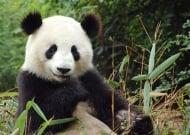 Пандите са застрашени от промените в климата