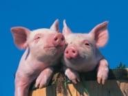 Паракератоза при свинете