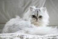 Персийска котка (Персийка)