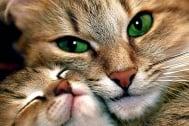 По какво си прилича мъркането на всички котки?