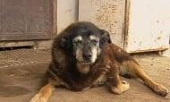 Почина австралийската овчарка Маги, най - възрастното куче в света