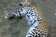 Ягуарът от ловешкия зоопарк бе застрелян с истински куршум, вместо с упойка