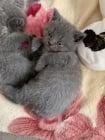 Шотландски сгъваеми / прави сини котенца за продажба