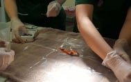Ветеринарен лекар премахна успешно тумор на 20-годишна златна рибка