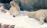 За първи път в зоопарка на Сан Диего изсипаха 26 тона сняг за белите мечки. Реакцията им бе неописуема!
