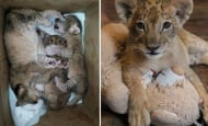 Съдбата на лъвчетата Терез и Масуд все още не е решена