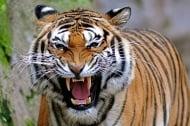 Тигър уби жена в зоопарк