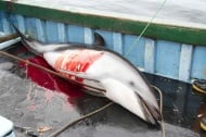 Тръгна петиция срещу незаконното избиване на делфини по Черноморието