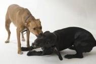 Ухапване от животни при кучето - Първа помощ