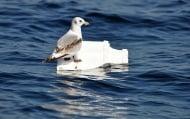 Вижте резултатите от наблюдението на китоподобни бозайници по нашето Черноморие